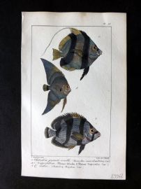 Lacepede & Oudart C1830 Hand Col Fish Print. Chaetodon 97